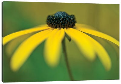 Coneflower Canvas Art Print