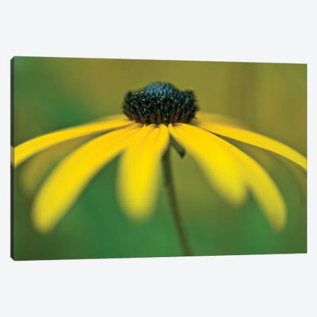 Coneflower Canvas Print #AFR100} by Assaf Frank Canvas Print