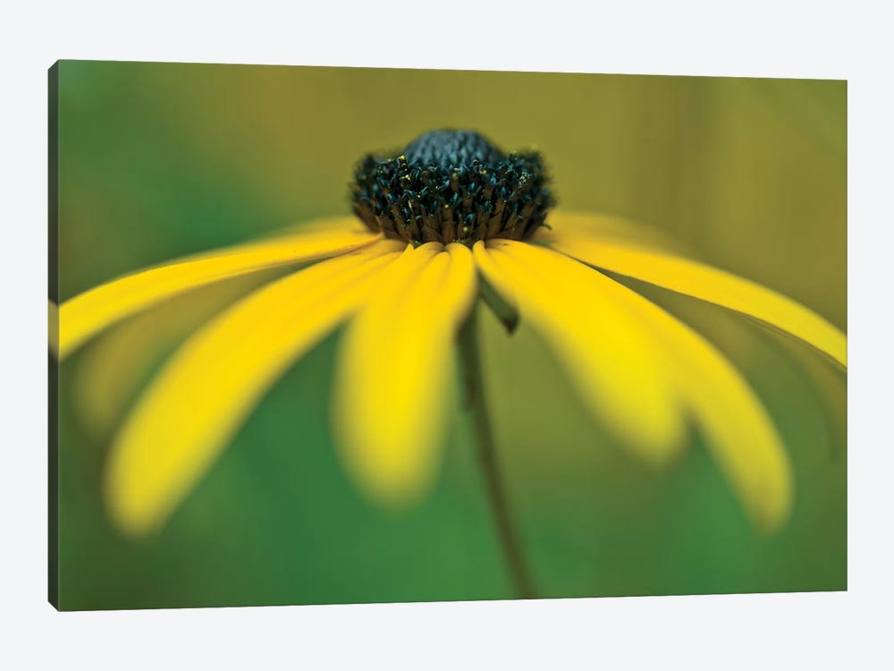 Coneflower by Assaf Frank 1-piece Art Print