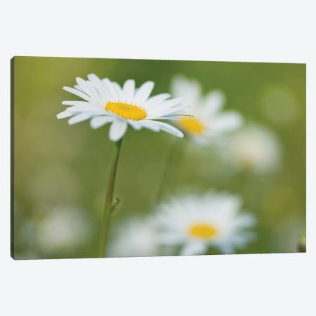 Daisies Canvas Print #AFR102} by Assaf Frank Canvas Print