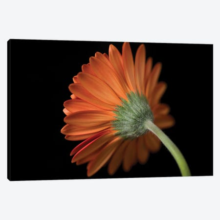Gerbera Flower Canvas Print #AFR104} by Assaf Frank Canvas Art