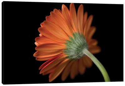 Gerbera Flower Canvas Art Print
