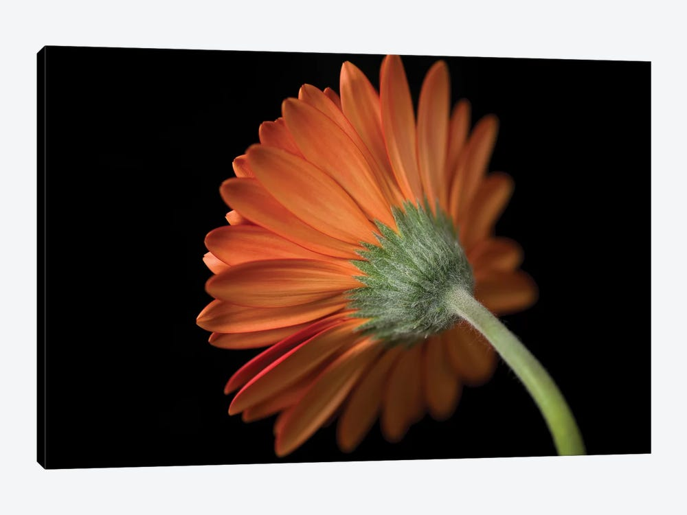 Gerbera Flower by Assaf Frank 1-piece Canvas Print