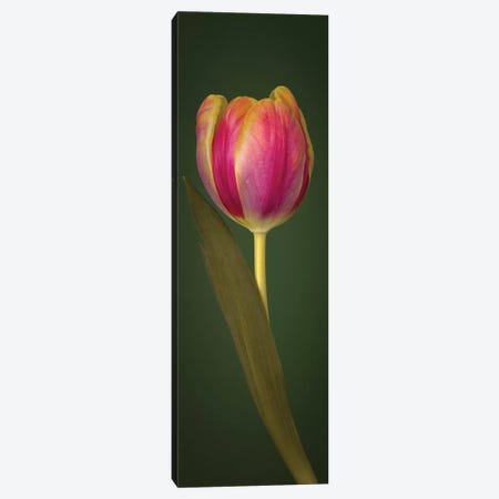 Single Tulip Canvas Print #AFR159} by Assaf Frank Canvas Wall Art