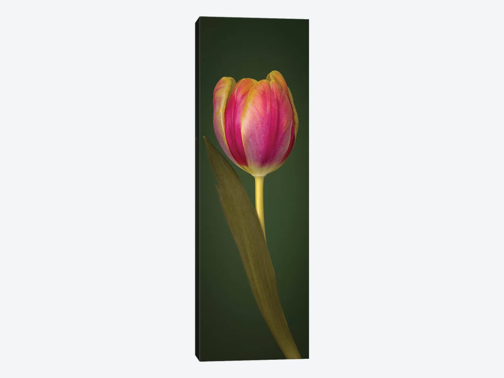 Single Tulip by Assaf Frank 1-piece Canvas Art Print