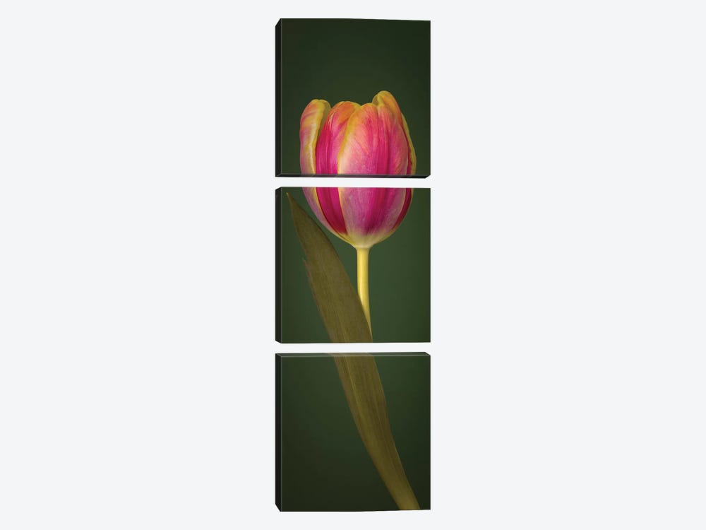 Single Tulip by Assaf Frank 3-piece Canvas Print