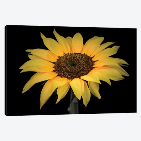 Sunflower Canvas Print #AFR160} by Assaf Frank Canvas Art Print