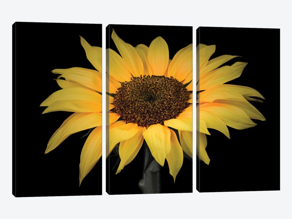 Sunflower by Assaf Frank 3-piece Canvas Art Print
