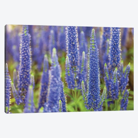 Veronica Canvas Print #AFR186} by Assaf Frank Canvas Wall Art