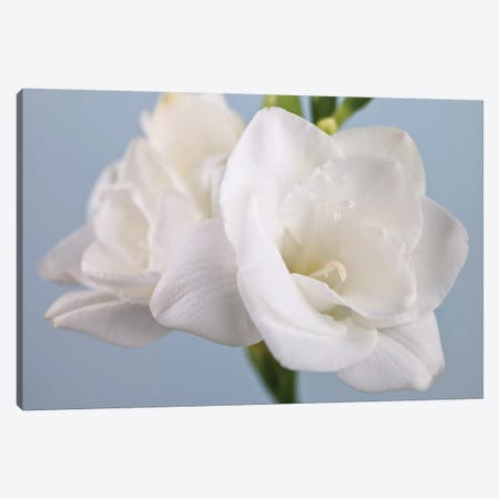 White Freesias 3-Piece Canvas #AFR188} by Assaf Frank Canvas Print