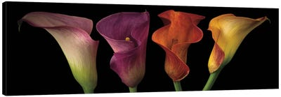 Jewel Calla Lilies Canvas Print #AFR26