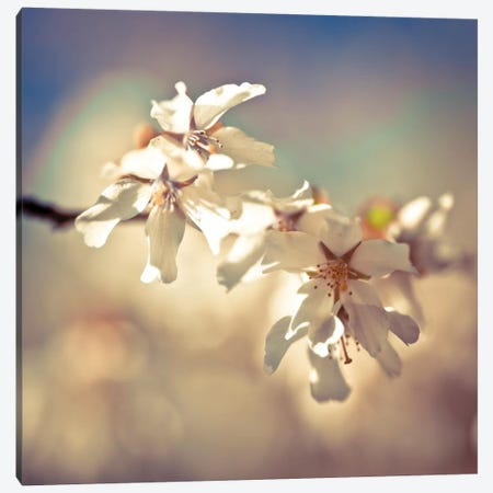 Soft Bloom I Canvas Print #AFR51} by Assaf Frank Canvas Wall Art