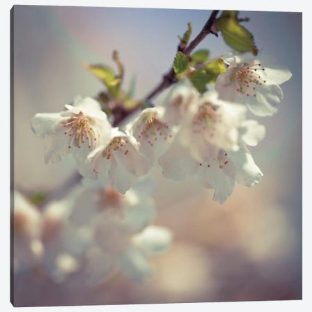 Soft Bloom II Canvas Print #AFR52} by Assaf Frank Canvas Art