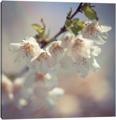 Soft Bloom II Canvas Art Print