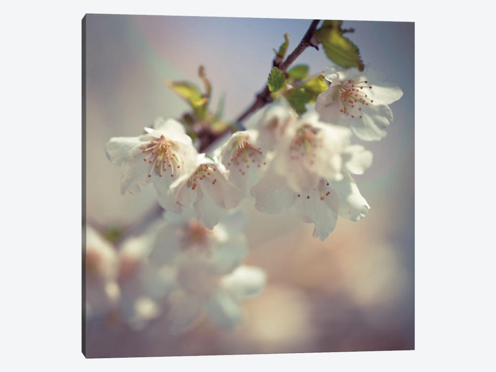 Soft Bloom II by Assaf Frank 1-piece Canvas Print