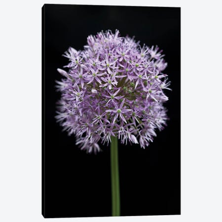 Allium Flower Canvas Print #AFR84} by Assaf Frank Canvas Wall Art