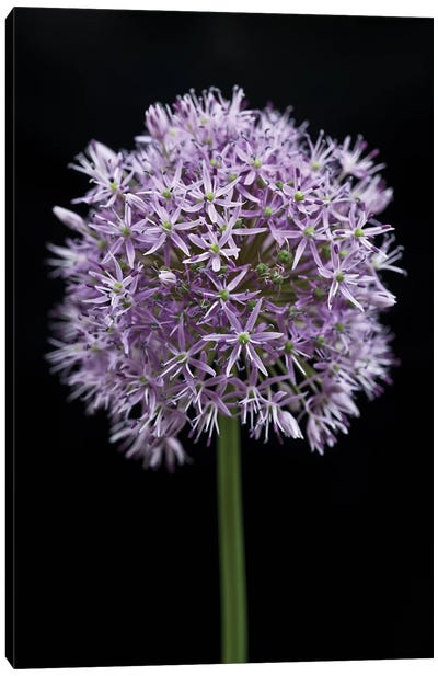 Allium Flower Canvas Art Print
