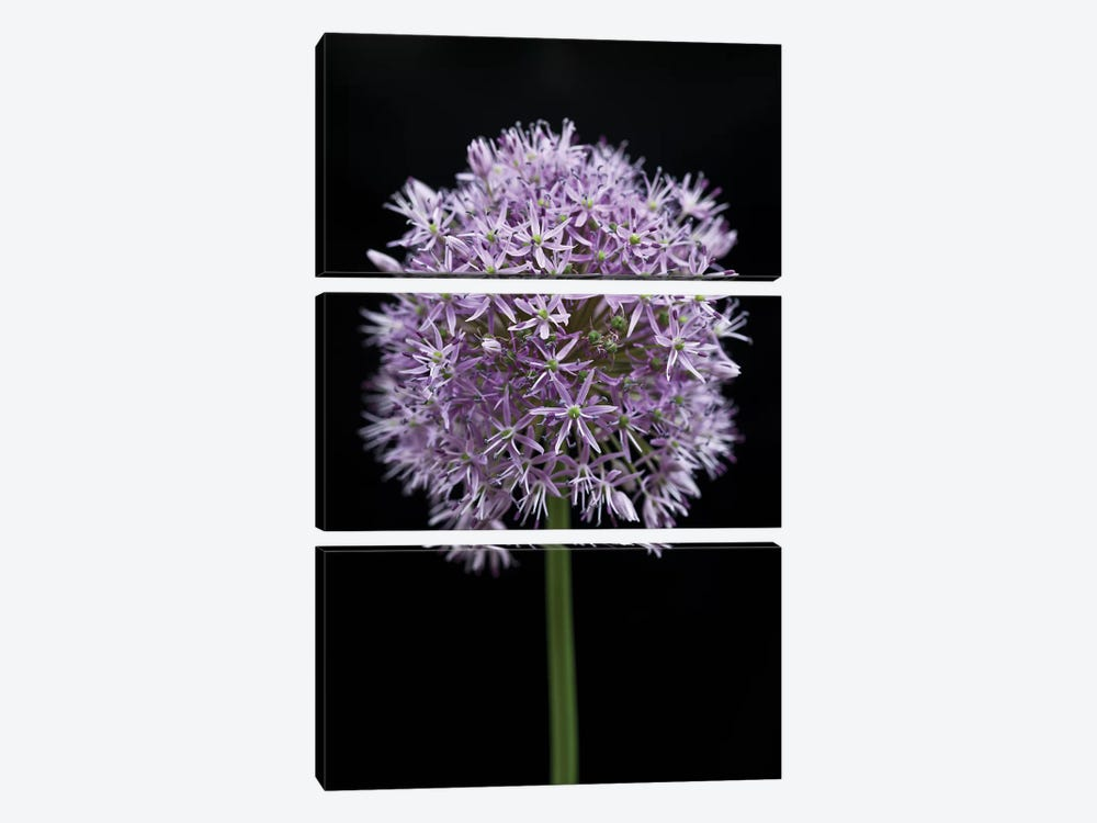 Allium Flower by Assaf Frank 3-piece Canvas Artwork