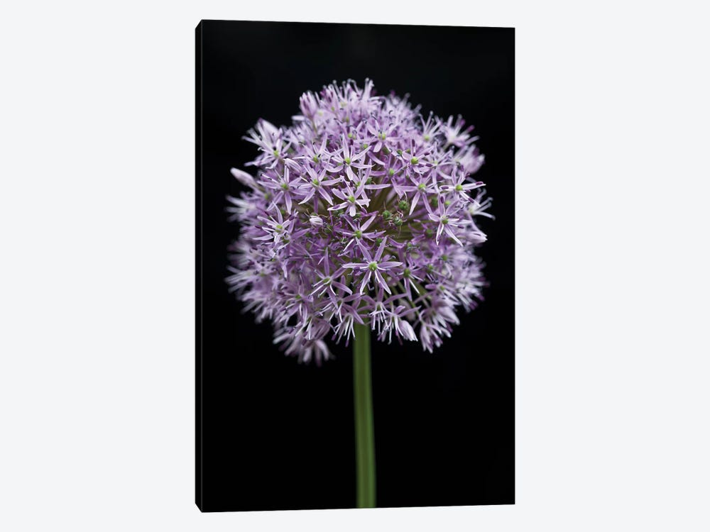 Allium Flower Canvas Artwork By Assaf Frank Icanvas