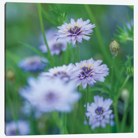 Catananche Canvas Print #AFR99} by Assaf Frank Canvas Artwork