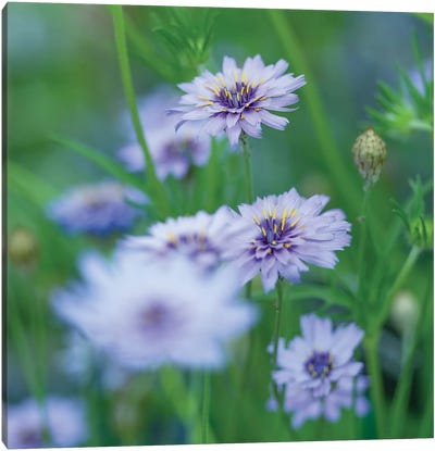 Catananche Canvas Art Print