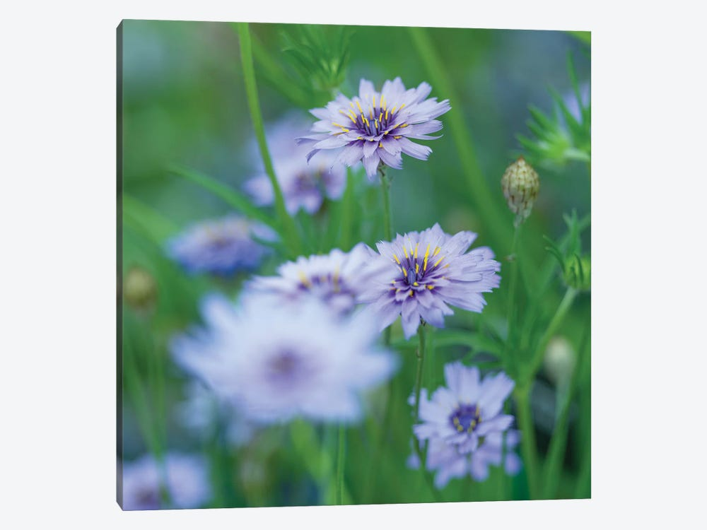 Catananche by Assaf Frank 1-piece Canvas Art