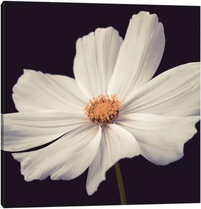 Cosmos II Canvas Art Print