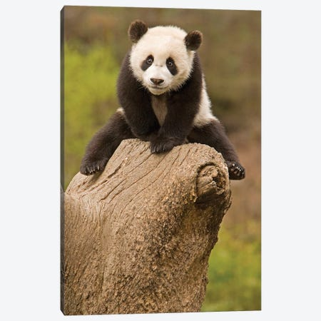 Baby Panda On Top Of Tree Stump, Wolong Panda Reserve, China Canvas Print #AGA1} by Alice Garland Canvas Artwork