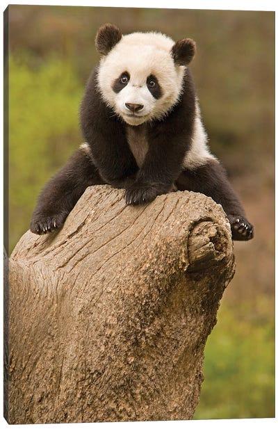 Baby Panda On Top Of Tree Stump, Wolong Panda Reserve, China Canvas Art Print