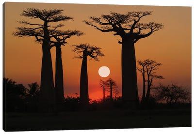 Baobbab Trees Madagascar Canvas Art Print