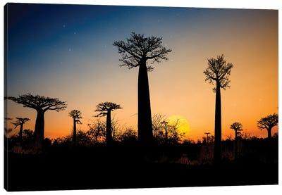 Baobab Trees Madagascar Canvas Art Print