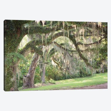 Spanish Moss Canvas Print #AHD148} by Ann Hudec Art Print
