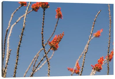 Ocotillo in Bloom Canvas Art Print