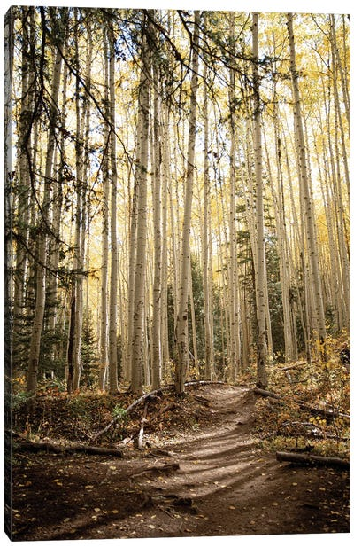 Autumn Light In The Aspen Grove Rustic Decor Canvas Art Print