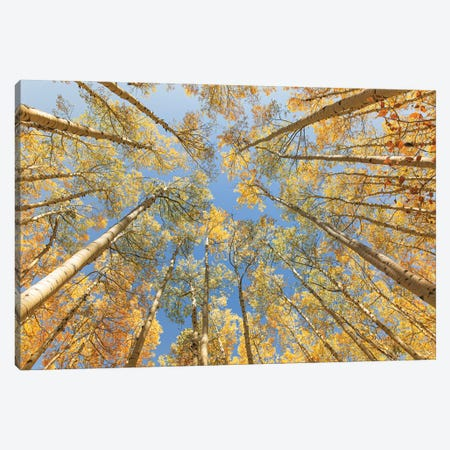 Looking Up - Golden Aspens Canvas Print #AHD228} by Ann Hudec Canvas Art
