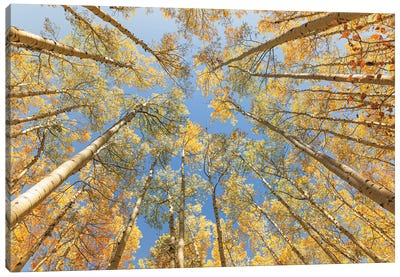 Looking Up - Golden Aspens Canvas Art Print