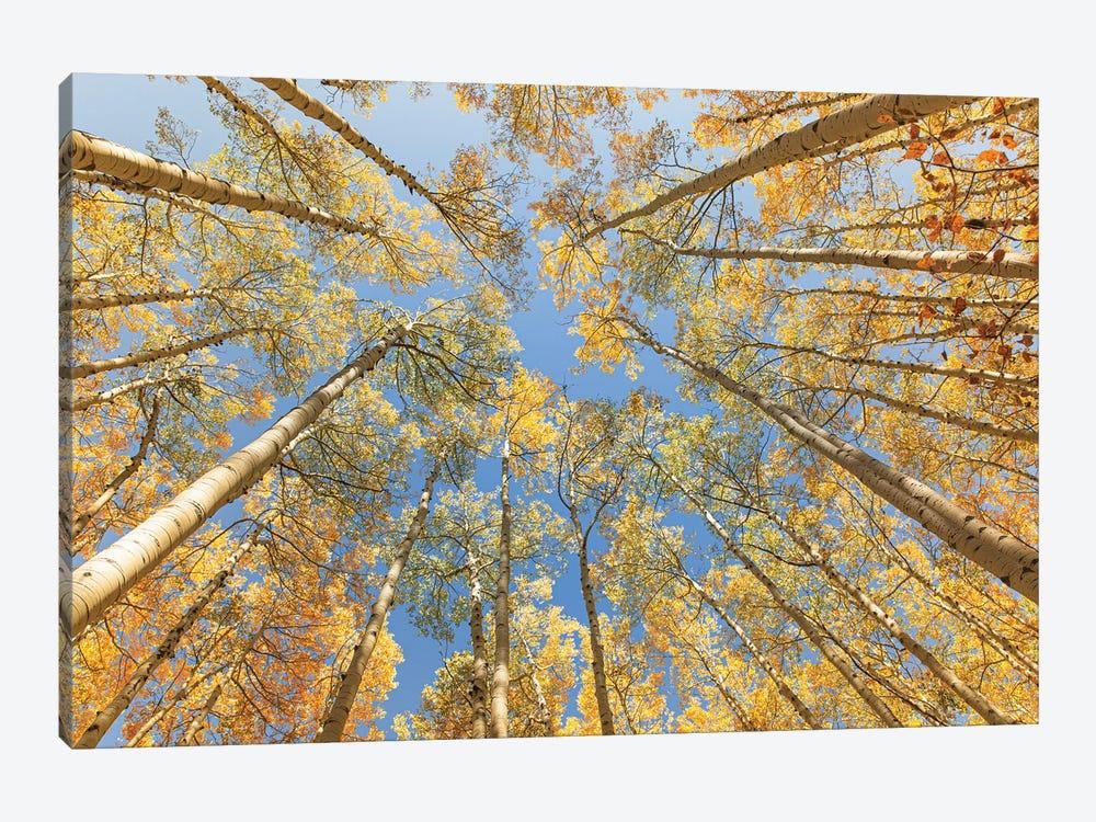 Looking Up - Golden Aspens by Ann Hudec 1-piece Canvas Print