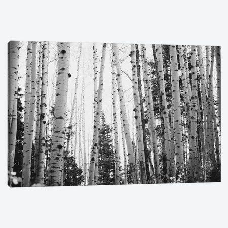 Winter Aspens Rustic Black And White Decor Canvas Print #AHD229} by Ann Hudec Canvas Art