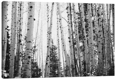 Winter Aspens Rustic Black And White Decor Canvas Art Print
