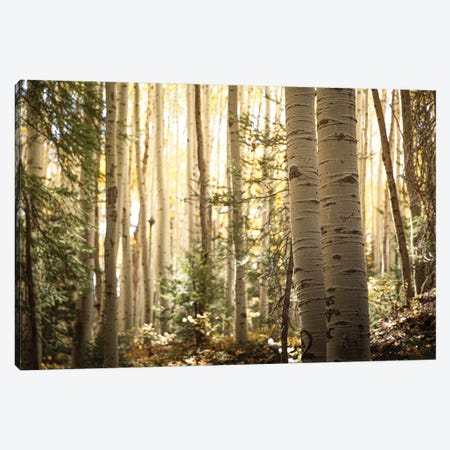 Morning Light In The Aspen Grove Ii Canvas Print #AHD230} by Ann Hudec Canvas Art Print