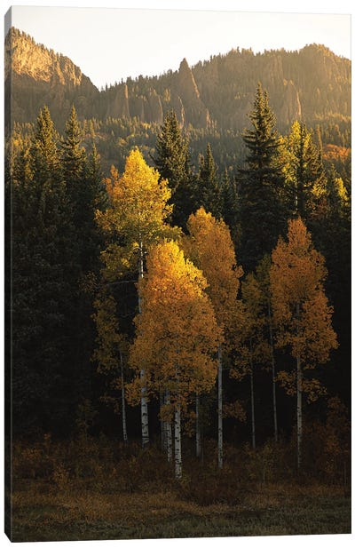 Aspen Gold Autumn In Colorado Canvas Art Print