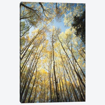 Looking Up Golden Aspens II Canvas Print #AHD236} by Ann Hudec Canvas Artwork