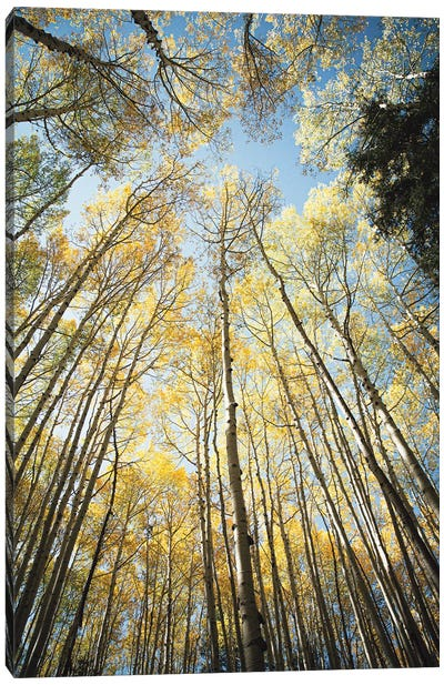 Looking Up Golden Aspens II Canvas Art Print