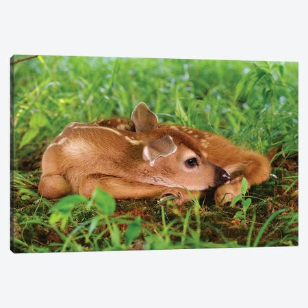 Two Day Old White-Tailed Deer Fawn Canvas Print #AJO100} by Adam Jones Canvas Wall Art