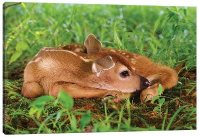 Two Day Old White-Tailed Deer Fawn Canvas Art Print
