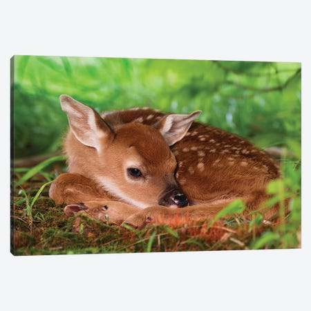 Two Day Old White-Tailed Deer Baby, Kentucky. Canvas Print #AJO101} by Adam Jones Canvas Wall Art