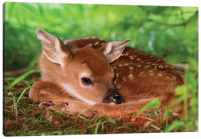 Two Day Old White-Tailed Deer Baby, Kentucky. Canvas Art Print