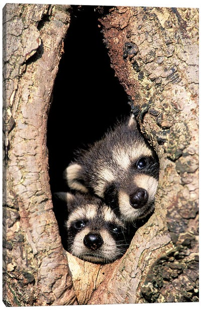 Baby Raccoons In Tree Cavity Canvas Art Print