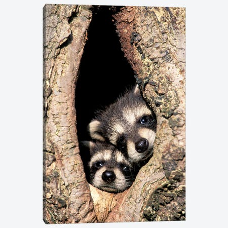 Baby Raccoons In Tree Cavity Canvas Print #AJO102} by Adam Jones Canvas Artwork
