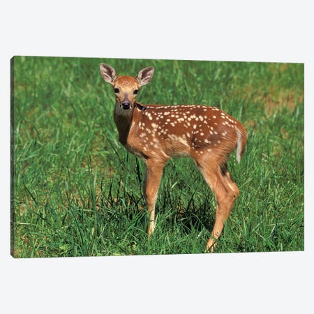 White-Tailed Deer Fawn Canvas Print #AJO103} by Adam Jones Canvas Artwork